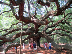 Angel Oak Tree (BuccaneerBoy) Tags: travel family tree green nature june fun spring south southcarolina landmark charleston liveoak angeloak johnsisland
