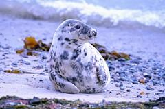 Horseshead Seal on Helgoland (MaiGoede) Tags: nature animals wildlife natur halichoerusgrypus greyseal helgoland carnivora phocidae seehunde raubtiere kegelrobbe phoquegris islandofhelgoland horsesheadseal focaparda grizjezeehond