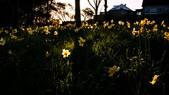 Just a walk in the park.... (Mark Winterbourne | markwinterbourne.com) Tags: england sun canon photography morninglight photographer shadows unitedkingdom leeds daffodils westyorkshire guiseley 24105 eos5d markwinterbourne yeadontarndam 100400yeadon httpmarkwinterbournecom