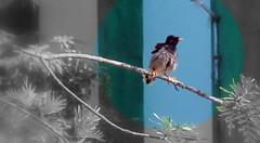 Pied Starling (Balaji Photography -