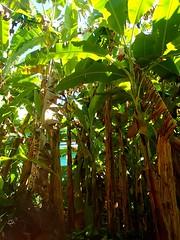 "La forêt de bananiers dans le jardin. • <a style=""font-size:0.8em;"" href=""http://www.flickr.com/photos/113766675@N07/14401565556/"" target=""_blank"">View on Flickr</a>"
