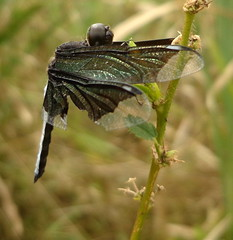 broken wings #bringbackourgirls (dotun55) Tags: nature insect dragonfly nigeria odonata