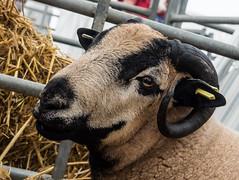 Sheep (ajf.350d) Tags: white black wool animal sheep farm cream horns curly