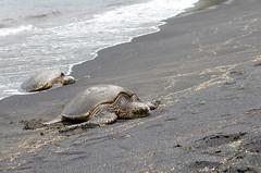 Black Sand Beach (ta3mam) Tags: hawaii nikon  seaturtle aloha blacksandbeach hawaiianislands hawa sablenoir tortuedemer 35f18 plagedesablenoir d7000