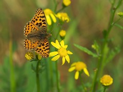 IMGP5057 (faki_) Tags: flower macro butterfly insect pentax 100 28 fa virág rovar lepke k10d smcpentaxfa100mmf28macro