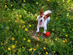 Lizzy enjoy spring (ChocoHal) Tags: flowers light dog sun love beautiful smile field yellow ball jack friend day play russel happiness terrier around jackrusselterrier lovely myfriend lizzy mylove sping poteto sheishappy dogpoteto lizzydogpoteto