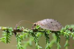Hemerobius marginatus