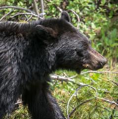 Black bear walking by (NettyA) Tags: bear travel canada nature animal landscape wildlife alberta squareformat northamerica blackbear banffnationalpark canadianrockies 2014 bowvalley lakelouisevillage sonynex6