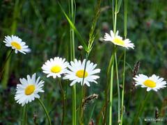 Magerwiesen-Margerite (Leucanthemum vulgare) (HITSCHKO) Tags: asteraceae margeriten leucanthemumvulgare korbbltler wiesenmargerite wiesenwucherblume magerwiesenmargerite