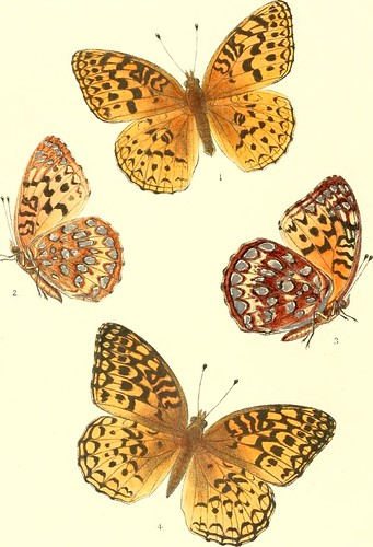 "Image from page 187 of ""Synopsis of North American butterflies"" (1879)"