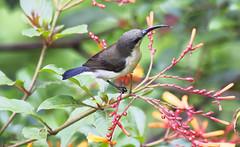 Live from Wyanad (Aiel) Tags: bird honey wyanad