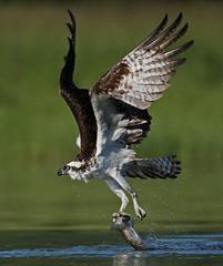 Osprey Draggin' Dinner (ken.helal) Tags: osprey