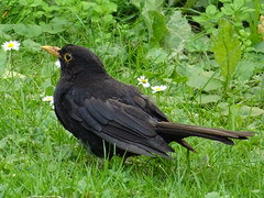 Amsel 20140710 001 (TransHuman) Tags: turdusmerula blackbird vogel amsel sonydschx60