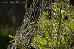 "Common Yellowthroat • <a style=""font-size:0.8em;"" href=""http://www.flickr.com/photos/63501323@N07/14639652212/"" target=""_blank"">View on Flickr</a>"