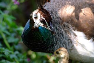 Peacock family. Pauwenfamilie. Utrecht. 04