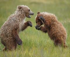 Brown bear cubs fighting in the rain. (MyKeyC) Tags: bear alaska cub bears grizzly brownbear silversalmon silversalrmoncreeklodge