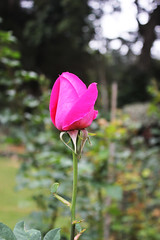 Rose Bud (Hakgala Botanical Garden) (Achala Photography) Tags: flowers flores flower fleurs bunga 花 꽃 鲜花 цветы achala rajapaksha ดอกไม้ फूल الزهور ফুল மலர்கள் මල්