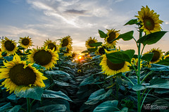 sunflowers (viddy_linna) Tags: flowers sunset flower beautiful bulgaria sunflowers sunflower