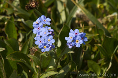 """Alpine Forget-me-not • <a style=""""font-size:0.8em;"""" href=""""http://www.flickr.com/photos/63501323@N07/14719388550/"""" target=""""_blank"""">View on Flickr</a>"""