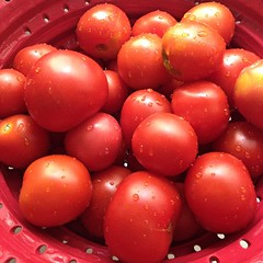 "Why stop at one batch of Heirloom Tomato Basil Sauce when you have enough fresh tomatoes for two?  #tomato #storeycooks #heirloom #1840farmcommunity • <a style=""font-size:0.8em;"" href=""http://www.flickr.com/photos/54958436@N05/14835469827/"" target=""_blank"">View on Flickr</a>"