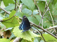 Red-spotted Purple Butterfly (Perkins-Boyer Photos) Tags: butterfly insect chelsea michigan