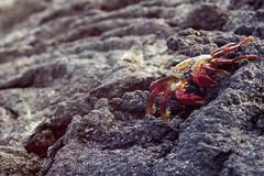 (jorgebenjardino) Tags: beach island islands ecuador crab playa sally galapagos jorge crabs isla islas isabela cangrejo lightfoot grapsusgrapsus jorgebenjardino benjardino