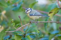 Blue Tit (angus molyneux) Tags: uk birds cumbria honeysuckle bluetit