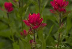 "Indian Paintbrush • <a style=""font-size:0.8em;"" href=""http://www.flickr.com/photos/63501323@N07/14873768551/"" target=""_blank"">View on Flickr</a>"