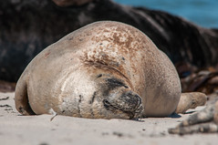 Sleeping seal (Phoca vitulina) at Heligoland/Germany (squ_ier) Tags: germany mammal wildlife seal northsea nordsee dne helgoland seehund sugetier phocavitulina heligoland landselur