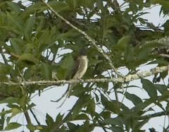 Olive-sided Flycatcher 20140829001018 (m wall nc) Tags: usa northcarolina eden