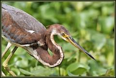 Half shut (WanaM3) Tags: eye heron nature texas wildlife sony ngc bayou npc clearlake pasadena canoeing paddling juvenile tricoloredheron a57 avianexcellence horsepenbayou wanam3 sunrays5 sonya57