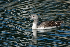 Dave In The Sun. (stonefaction) Tags: city red nature birds dave scotland dundee wildlife quay diver faved throated