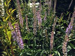 Veronicastrum virginicum 'Lavandelturm'