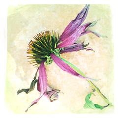 Dying flower (lindavin58) Tags: purple echinacea coneflower driedflower rudbekia hipstamatic