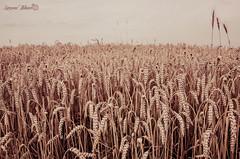 Wild Field (meepeachii) Tags: nature field wheet