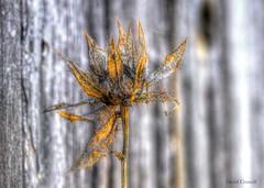 Sad - End of Season (zendt66) Tags: flower fence season dead photo nikon sad assignment end pro theme dried weekly hdr d90 photomatix zendt66 52weeks2014