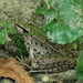 Southern Leopard Frog (Lithobates sphenocephalus)