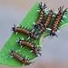 Early instars of Milkweed Tussock Caterpillars