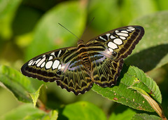 The Clipper - Parthenos sylvia lilacincus (Gary Faulkner's wildlife photography) Tags: borneo sabah theclipper tabin parthenossylvialilacincus