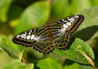 The Clipper - Parthenos sylvia lilacincus
