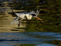 Elegant Tern, Bayside Marina, Morro Bay (aviac) Tags: california reflection bird feeding morrobay eleganttern morrobayestuary morrobaystatepark californiabirds baysidemarina thalasseuselegans stateparkmarina