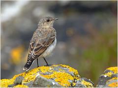 Young Wheatear (eric robb niven) Tags: walking scotland dundee wildlife ngc isleofmull isles lunga treshnish ericrobbniven pentaxk50