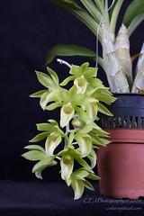 CEJ_2014-4562_2_AOSJud_20140727_IMG_0073_CEJ_W.jpg (celainej) Tags: white plant orchid flower green key clay waxy lime aos clo samdy kasmer clonesia dodsoniama 20144562