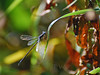 End-of-Summer Blues (WanderWorks) Tags: nature grass insect wings dragonfly outdoor dsc6882c1g