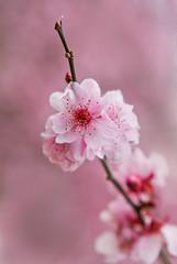 Blossom Time (aussiegall) Tags: tree gardens cherry petals spring blossom auburn bloom cherryblossom