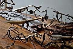 brass creatures (1) (geoffrey_haberman) Tags: sony brass metalsculpture mantid allistonontario geoffreyhaberman metalinsect sonydscrx10