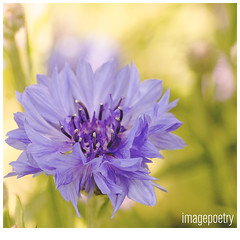 065 (imagepoetry) Tags: flower nature garden purple blossom bokeh beet cornflower kornblume naturelover imagepoetry sonyalpha bokehlover ipoetry natureonly