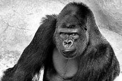 Goma. (Alexandra Rudge.Thank you for 4,6 millons + viewer) Tags: california naturaleza nature animal animals santabarbara fauna canon zoo gorilla goma animalia mammalia gorila gorillas primates santabarbarazoo westernlowlandgorilla zoologico silverbackgorilla gorilas gorillagorilla chordata hominidae westerngorilla hominoidea homininae malegorilla gorillini silverbackgorillas californiazoo gorilaespaldaplateada gorilamacho flickrhivemindgroup alexandrarudge zoologicodesantabarbara santabarbarazoogorillas santabarbarazoogorila santabarbarazoogorilla santabarbarazoosilverbackgorilla gomasilverbackgorilla alexandrarudgesantabarbarazoo