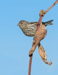Pine Siskin (Wes Aslin) Tags: canada bird britishcolumbia pinesiskin avian gilpin grandforks spinuspinus