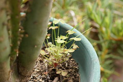 Trebolitos (Starista Jacobsen) Tags: cactus garden jardin clover clovers trebol treboles